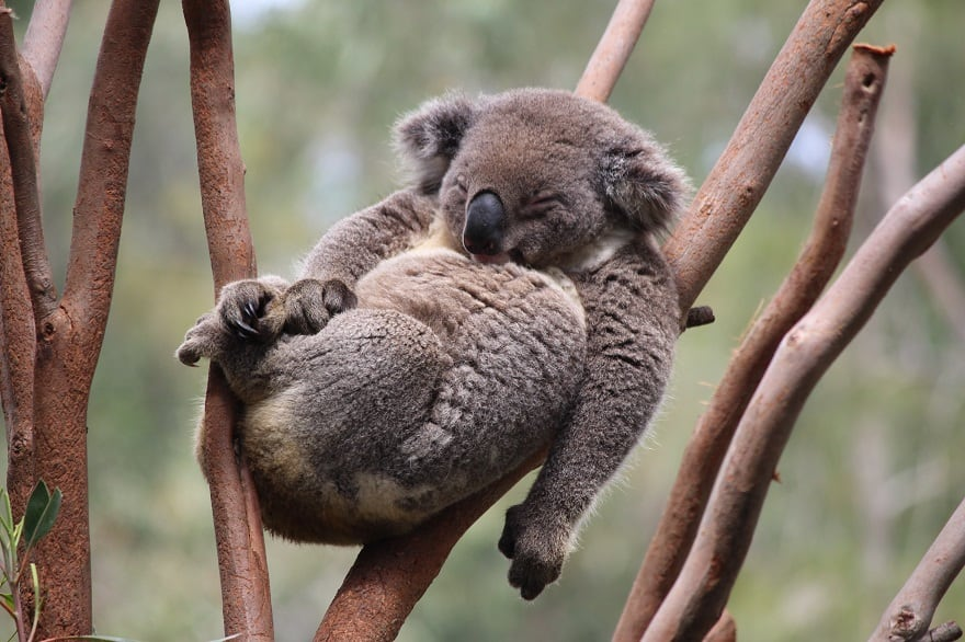The most relaxed Koala in the world